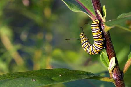 Monarch Butterfly Caterpillar On Milkweed photo