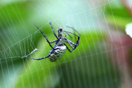 arachnophobia animal bite: Banded Garden Spider - Argiope trifasciata with prey Stock Photo
