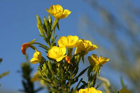 primrose: Evening Primrose - Onagraceae biennis  Stock Photo
