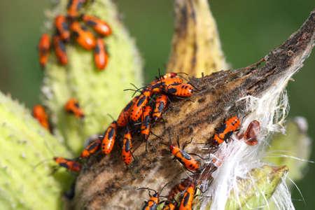 milkweed: Large Milkweed Bug Nymphs Stock Photo