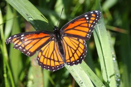 donna farfalla: Archippus vicer� Butterfly Limenitis  Archivio Fotografico