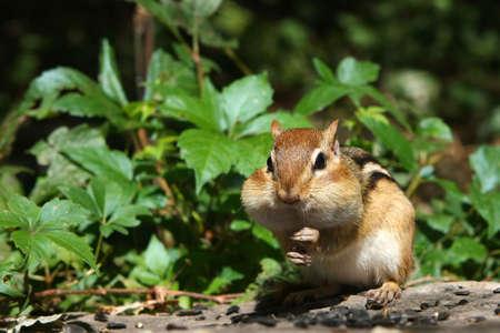 cheek to cheek: Eastern Chipmunk Tamias striatus Stock Photo