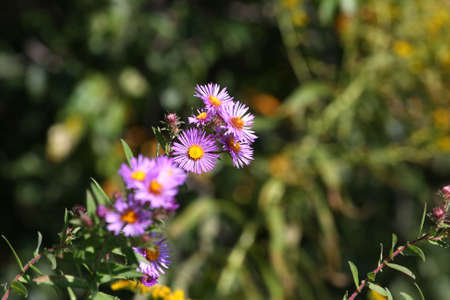 aster: New England Aster - Aster novae angliae
