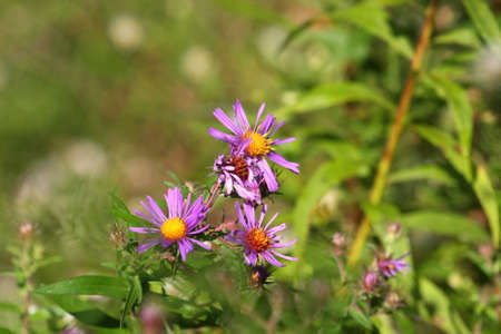 aster: New England Aster Flower Aster novae angliae Stock Photo