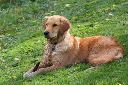 golden: Young Golden Retriever