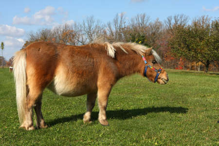 Miniature Horse photo