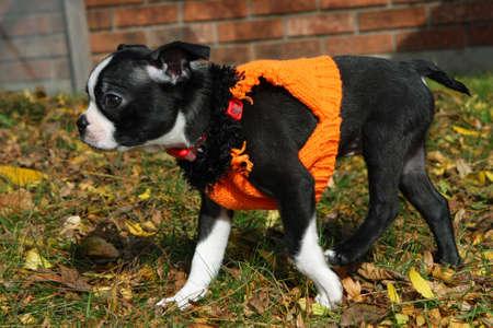 Boston Terrier Puppy photo
