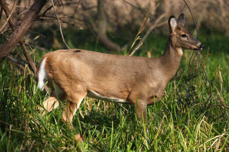 White-tailed Deer Doe Stock Photo - 8200365