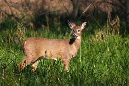 White-tailed Deer Doe photo