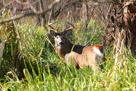 White-tailed Deer Buck photo