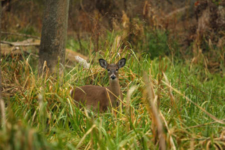 White-tailed Deer photo