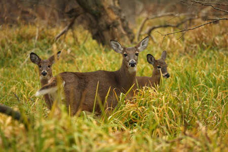 white tailed deer: White-tailed Deer