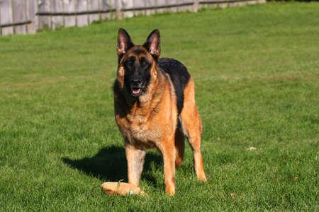 Big German Shepherd Male  photo