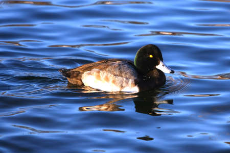 scaup: Lesser Scaup Aythya affinis Duck