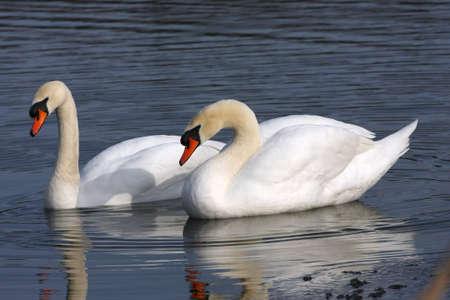 Mute Swan Cygnus olor photo