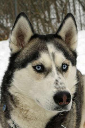 Siberian Husky Dog photo