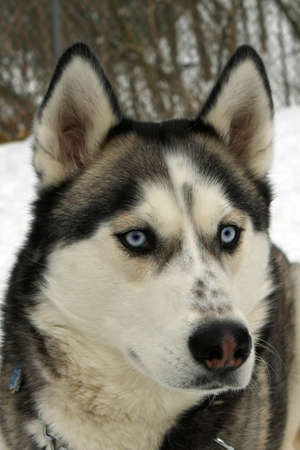 blue eye husky: Siberian Husky Dog