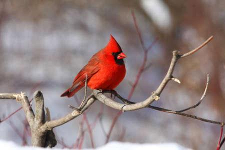 feeder: Northern Cardinal cardinalis male