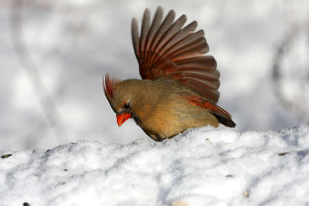 Northern Cardinal cardinalis female Stock Photo - 8817268
