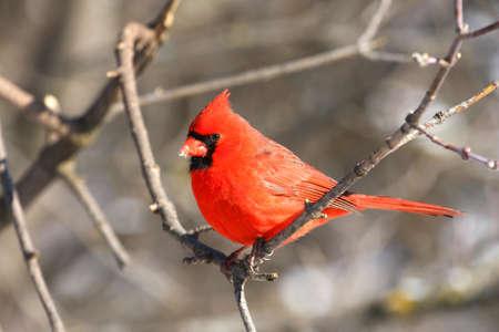 Northern Cardinal cardinalis male photo