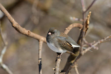 Dark-eyed Junco hyemalis photo