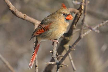 Northern Cardinal cardinalis female photo