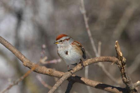 passer by: Tree Sparrow Passer montanus