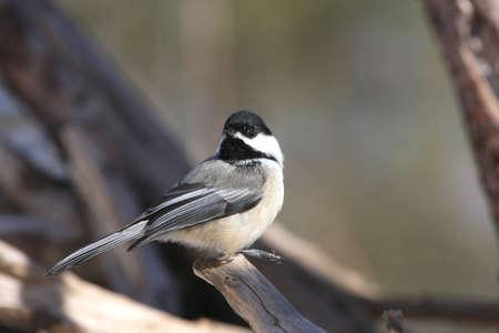 Black-capped Chickadee photo