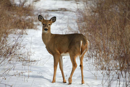 white tailed deer: White-tailed Deer Odocoileus virginianus