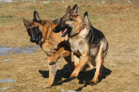 German Shepherd Dog Stock Photo - 8913797