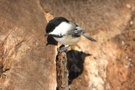 Black-capped Chickadee Poecile atricapillus photo