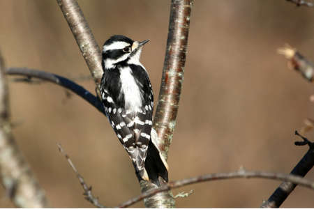 downy: Downy Woodpecker female