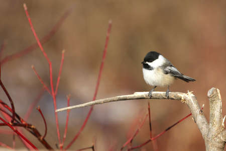 Black-capped Chickadee Poecile atricapillus Stock Photo - 9010249