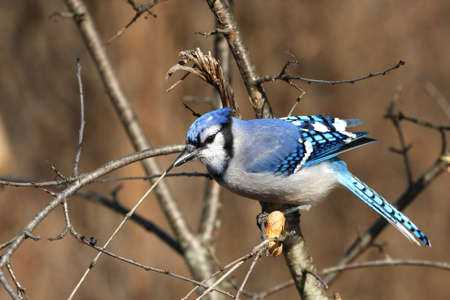 Bluejay Cyanocitta cristata Stock Photo