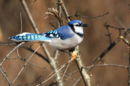 Bluejay Cyanocitta cristata photo