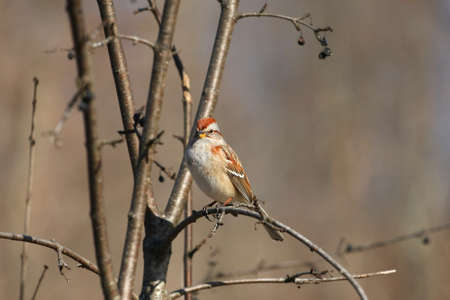 domestics: Tree Sparrow Passer montanus