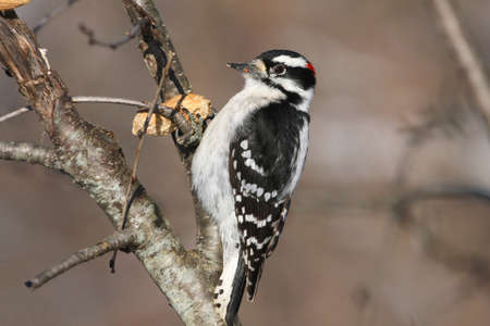 downy: Downy Woodpecker Picoides pubescens