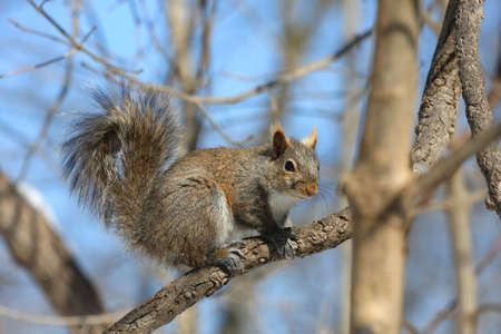 Eastern Grey Squirrel Stock Photo - 9010273