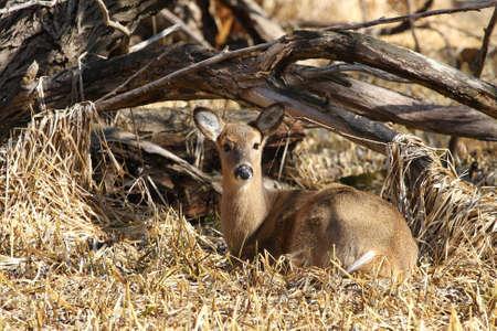 whitetailed: White-tailed deer Odocoileus virginianus