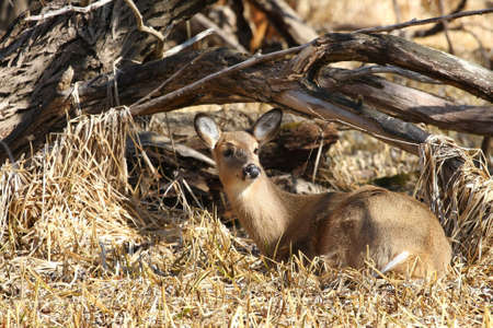 odocoileus: White-tailed deer Odocoileus virginianus