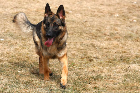 German Shepherd Dog Stock Photo - 9262431