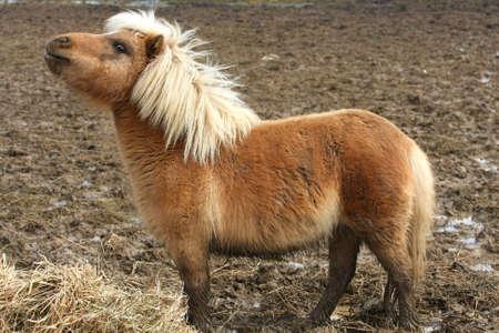 donkey tail: Caballo en miniatura Foto de archivo