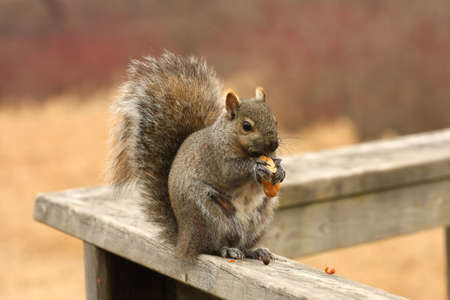 Gray Squirrel Sciurus carolinensis Stock Photo