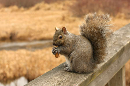 on gray: Gray Squirrel Sciurus carolinensis Stock Photo