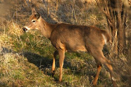 virginianus: White-tailed Deer Odocoileus virginianus  Stock Photo