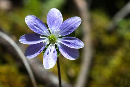 liverwort: Hepatica Flower liverwort  Stock Photo
