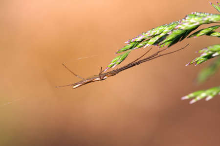 Long-jawed Orb Weaver Spider family Tetragnathidae photo