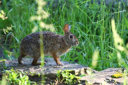 leporidae: Cottontail Rabbit Sylvilagus