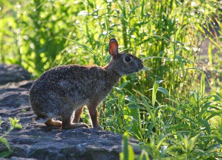leporidae: Cottontail Rabbit - Sylvilagus