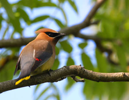 Cedar Waxwing Stock Photo - 9958825